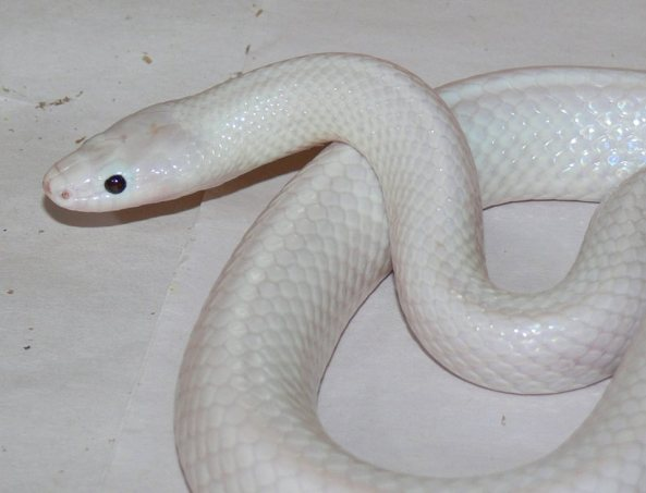 white snake found saudi arabia सऊदी अरब