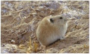 A small rodent sits on sand.