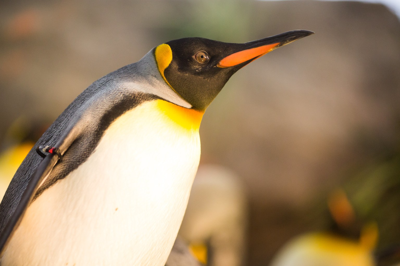 Close-up of a penguin.