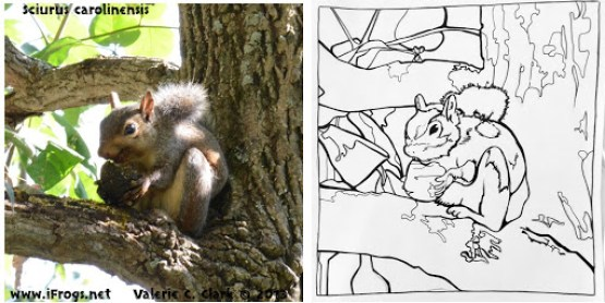 Photograph of a squirrel side-by-side with a coloring sheet based on it