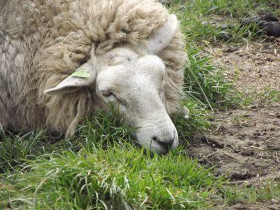 Leeuwarder schapen naar de slacht na verliezen aanbesteding