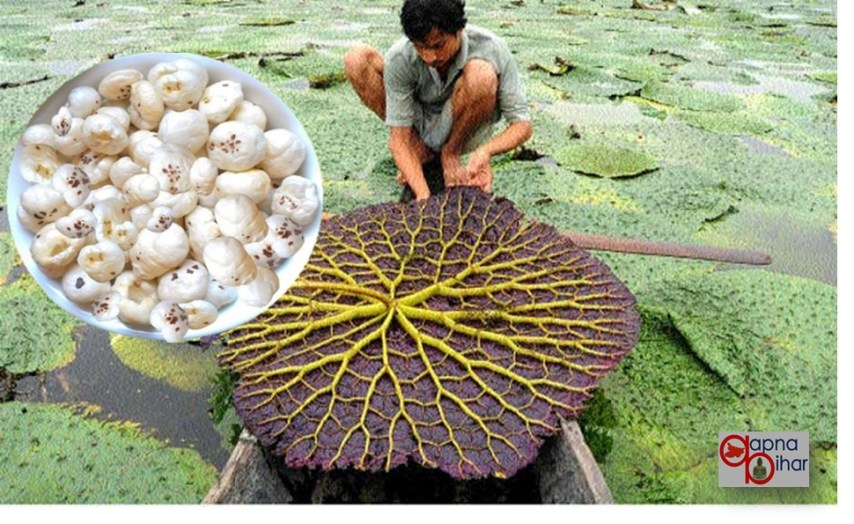 Mithila Makhana, Bihar Makhana, Makhana Industry, Makhana Drugs