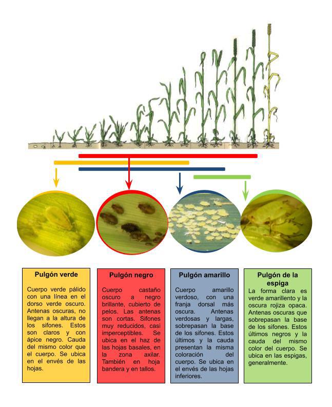 Pulgones en el cultivo de trigo-docx (1)