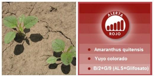 collage alerta amaranthus quitensis