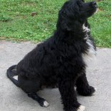 Portuguese-Water-Dog61