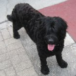 Portuguese-Water-Dog71
