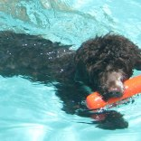 Portuguese-Water-Dog74