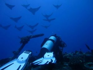 Spotted Eagle Rays5