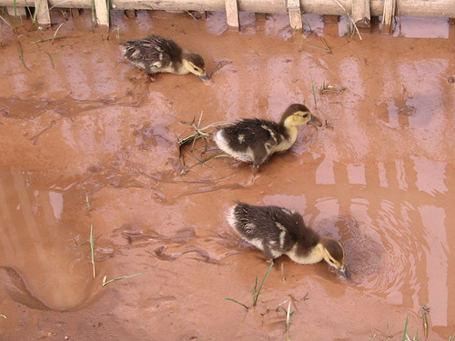 Ducks Playing in Mud