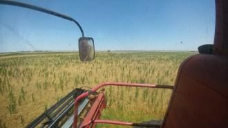 Marestail in wheat