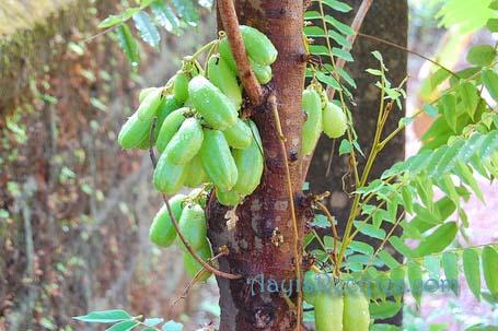 Bimbal tree