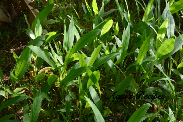 turmeric leaves