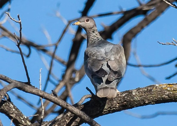 Regular in Texas only in the mountains of the Trans-Pecos, Band-tailed Pigeons are unexpected elsewhere in the state. Most that are found wandering are discovered in the fall, like this one on 18 Oct 2016 at Sanderson, Terrell Co. Photo © Lee Hoy.