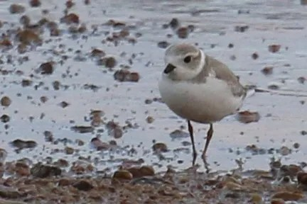 With only a handful of fall reports in the last five years, this lone Piping Plover was a great find at Chatfield S.P., Douglas on 6 Aug 2016. Photo © Joey Kellner.