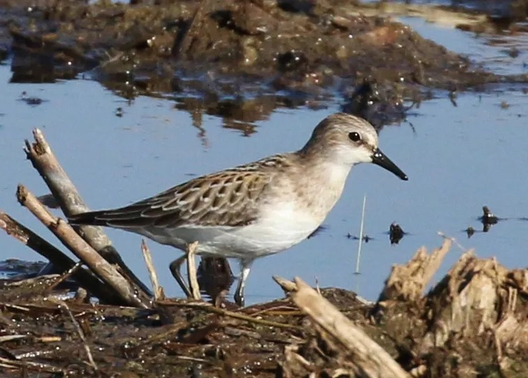 This juvenile Red-necked Stint, photographed on 6 September 2016, was present at the San Jacinto Wildlife Area, Riverside County 5–8 September 2016. Note the long primary projection that separated it from the similar Semipalmated Sandpiper, and the lack of prominent patterning on the wing-coverts that differentiate it from a Little Stint. Photo © Thomas A. Benson.