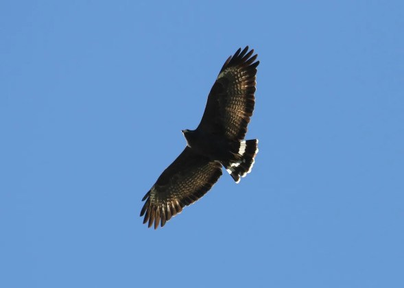Common Black Hawks are known to wander a bit but it was still unexpected to have one fly over the Smith Point Hawk Watch, Chambers Co on 21 Oct 2016, roost nearby overnight and then again fly over the site and leave the following morning (here). This represents the easternmost documented sighting in Texas and perhaps in the United States. Photo © Sue Heath.