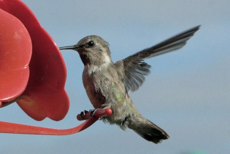 This belatedly-reported Costa's Hummingbird, Nebraska's second, was at a Gretna, Sarpy County, Nebraska feeder 16 Sep 2010 and remained through the second week of October. Photograph by © Ray Zeilinger.