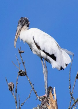 This Wood Stork at the Department of Energy Oak Ridge Reservation in Roane Co, TN 13 Aug 2016 was a very surprising discovery so far from the Mississippi River, which is the only place in the state where the species regularly (if still infrequently) occurs. Photo © Richard Schwartz.
