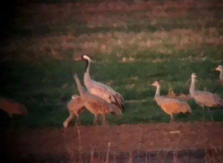 This Common Crane, photographed with Sandhill Cranes 17 November 2016 at a western Texas County playa, was Oklahoma's first. Photograph by © Daniel Horton.