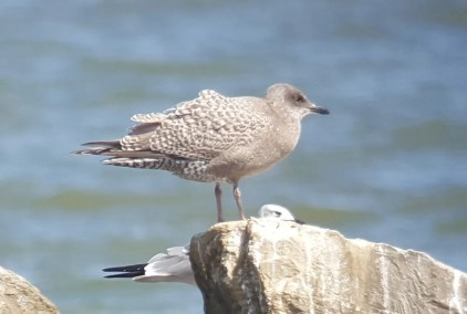 This juvenile Iceland (Thayer's) Gull was unexpected 15 Oct 2016 at Dauphin Island, Mobile Co, Alabama. Photo © Erik Johnson.