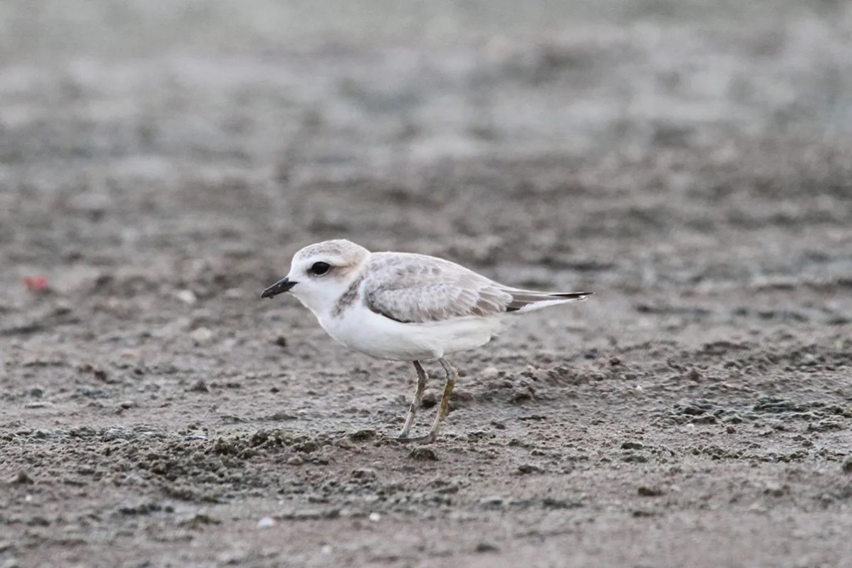 Just the sixth for Arkansas, this Snowy Plover delighted many during its long stay from 7-23 Sep (here on 8 Sep) 2016 at Camp Nine, Desha County. Photo by © Dick Baxter.