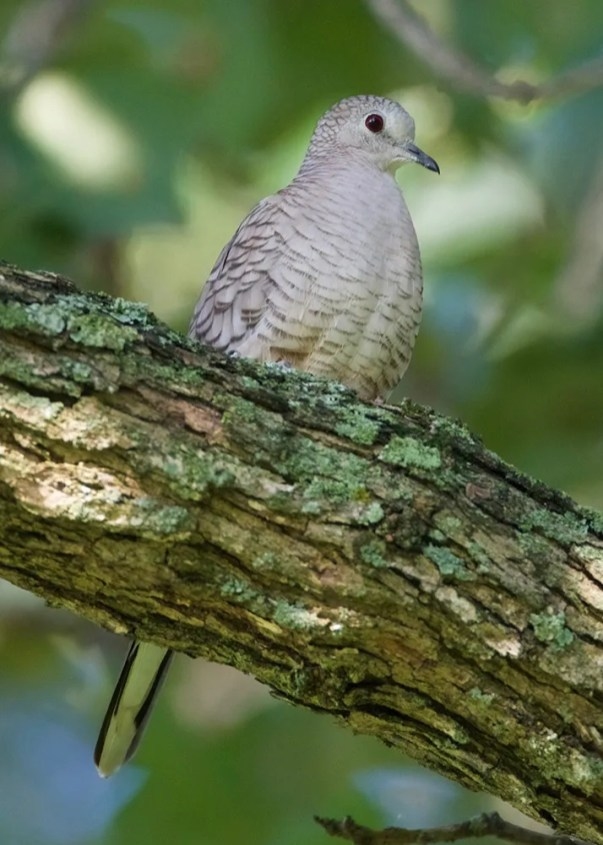Although now making nearly annual appearances in the TN and KY region, Inca Dove remains an exceptional find. This bird frequented a yard in Logan Co, KY 7–9 Aug 2016 (here 9 Aug). Photo © Jamie Baker.