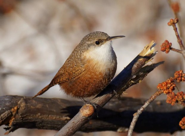 This Canyon Wren, Nebraska's fifth, was at Shoemaker Ranch, central Cherry County, Nebraska, 28 Oct- 30 Nov 2016 (here 20 November). This species is generally resident within its range, and just occasionally wanders this far from its strongholds. Photograph by © Joel Jorgensen.