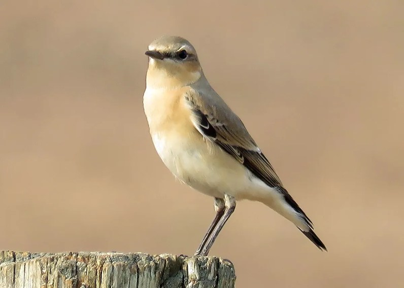 Northern Wheatear had been long expected to occur in Tennessee, but this cooperative individual in Loudon Co 13–20 (here 19) Nov 2016 was still quite a surprise. Photo © Ruben Stoll.