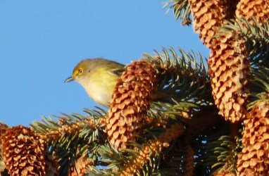 Providing only the second-ever record for Saskatchewan, this White-eyed Vireo at Regina on 7 November 2016 unfortunately did not linger. Photo © Laurie Koepke.