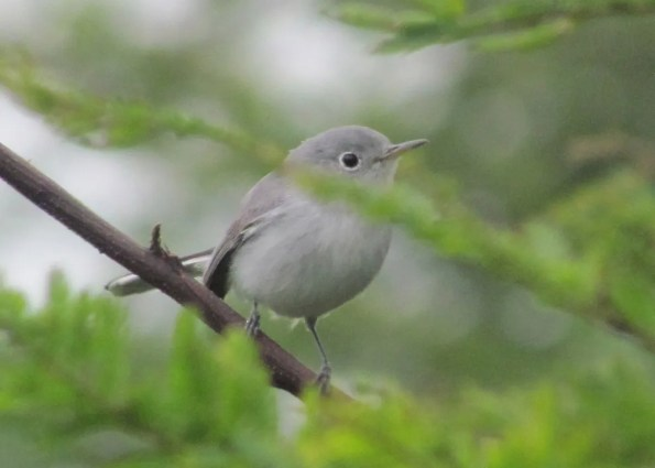 With only a handful of reports for Nicaragua, this Blue-gray Gnatcatcher was a nice find in the El Robledal section of the Miraflor-Moropotente Natural Reserve in Estelí on 13 Nov 2016. Photo © Chico Muñoz.