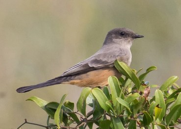 Alabama's eighth Say's Phoebe was at Dauphin Island, Mobile Co (here 2 Oct 2016). Photo © Andrew Haffenden.