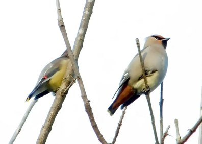 This Bohemian Waxwing in Knoxville, Knox Co, TN 22 Nov 2016 was a surprise first state record, but unfortunately could not be relocated after the original sighting. Photo © Colin Sumrall.