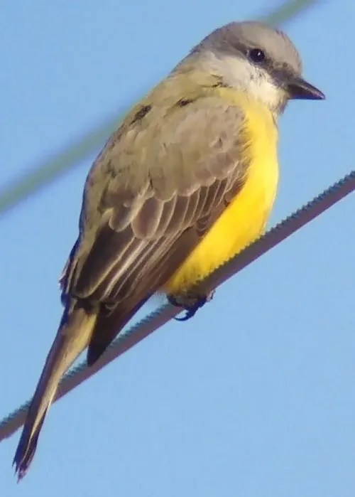 Fortunately a vocal individual, a Couch's Kingbird was a long-staying vagrant to the Delta country of west Mississippi in Leflore Co beginning 30 Nov 2016 (here 10 Dec). Photo © Mark McShane.