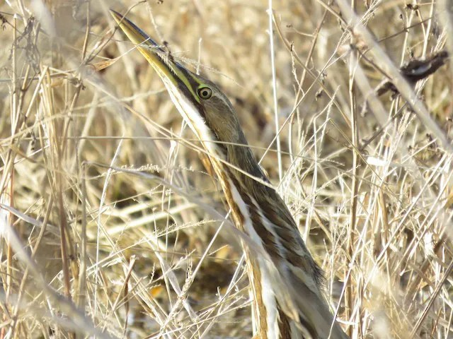 A late American Bittern was observed at Loess Bluffs NWR, Holt county 26 November. Photo © Bradley Painter.