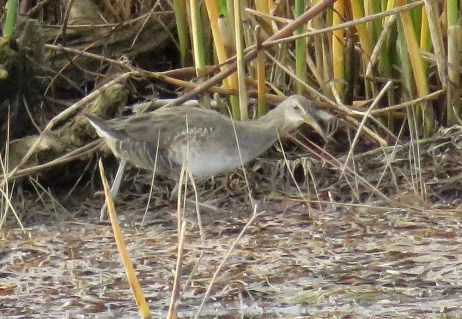 This Clapper Rail was found at Barachois 9 Oct., providing the second record for the province, both records from Gaspésie. Photo by © Jean-François Rousseau