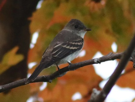 This Western Wood-Pewee, a first in the province, was banded at Cap Tourmente 1 Oct. 2016. Photo by © Olivier Barden.