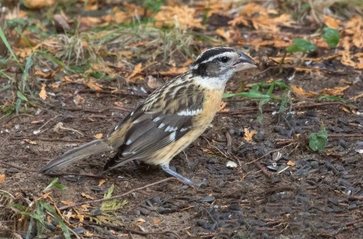 This female Black-headed Grosbeak stopped at Tadoussac 15-24 Oct. (here 16 Oct.). Photo by © Suzanne Labbé
