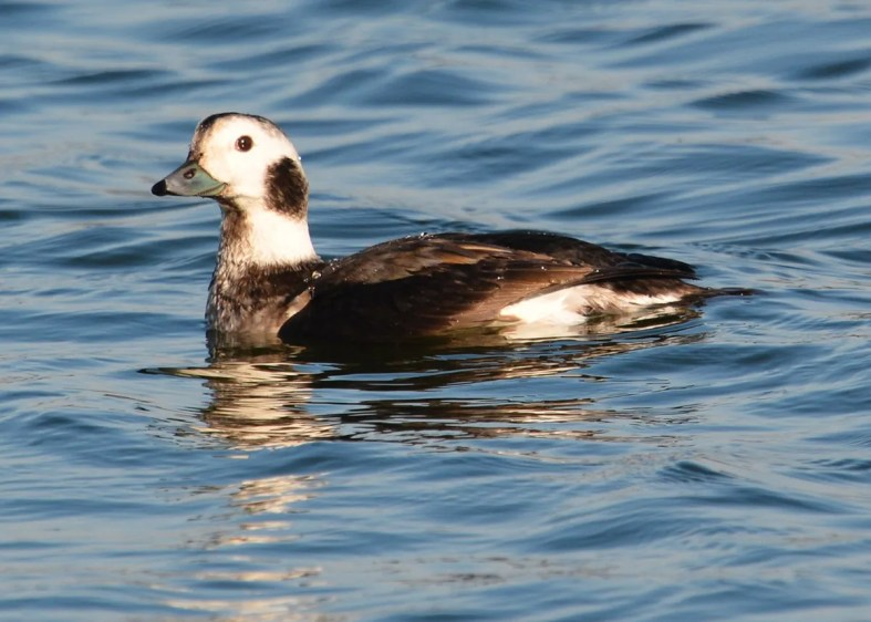 Long-tailed Ducks are regular fall and winter visitors to Texas, though some years only one or two are detected. This winter was exceptional; at least six birds were discovered, including this one at Braunig Lake, Bexar Co 28 Dec 2016–12 Feb 2017 (here 1 Jan 2017). Photo © Beth McBroom.