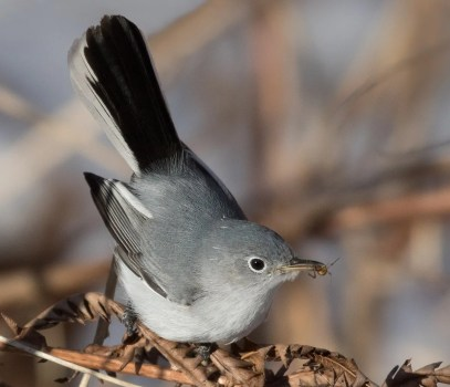 This Blue-gray Gnatcatcher at Park Angrignon (Montréal) 4-14 Dec. 2016 (here 9 Dec.) was a record late date. Photo by © Suzanne Labbé