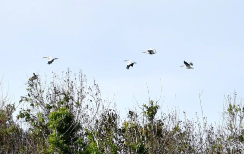 A fly-past lasting less than a minute allowed four American White Pelicans to be photographed flying over Catchment Hill, Bermuda for only the third record for Bermuda. They never landed on the island but continued south. Photographed here on 1 Jan 2017. Photo © Andrew Dobson.