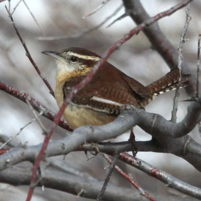 One of two Carolina Wrens reported this season. This one was present for over a month behind Lamar Community College, Prowers 17 Jan–19 Feb. Photographed here on 17 Jan. Photo © Dave Leatherman.