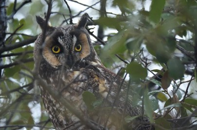 Long-eared Owls are always sought after by Texas birders, so when a roost was found at the entrance to Lake Arrowhead State Park, Archer Co, it was visited by hundreds of birders. As many as seven individuals roosted in the same location; shown here 18 Feb 2017. Photo © Jeff Sexton.
