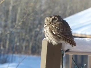 This Western Screech-Owl, photographed here on 19 Feb 2017, had been present at southwest Calgary, Alberta since October 2016. Photo © Diane Ramsey.