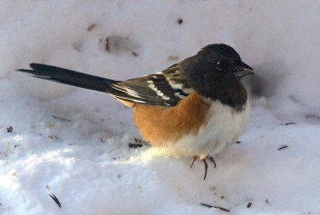 Spotted Towhee is rare in Manitoba at any time of year. This bird was at Winnipeg from fall 2016 into Jan 2017 (here 4 Jan). Photo © Garry Budyk.