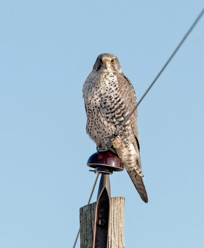 The Gyrfalcon found 13 Feb in McLean Co., IL posed nicely for the camera. Photo © Tim Lindenbaum.