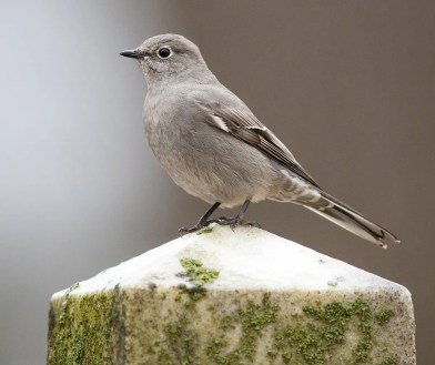 One of three in the region, this Townsend's Solitaire was found reliably in Madison Co., IN northeast of Indianapolis, and was seen and photographed by many over a multiple week period. Photo © Ryan Sanderson.