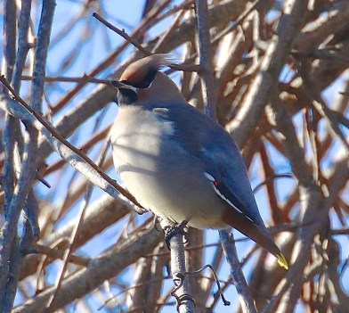 This Bohemian Waxwing brightened a New Year's Day C. B. C. in Lake Forest, Lake Co., IL. Photo © Emil Baumbach.