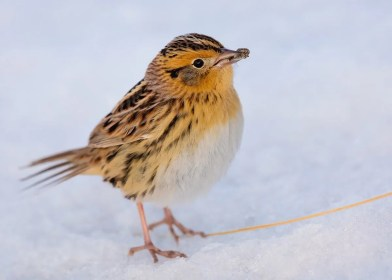 Quite a surprise was this adult Le Conte's Sparrow in the snow at Michigan City Harbor, LaPorte Co., IN on 12 Dec. Perhaps as remarkable was the apparent spider in the bill of the bird. Photo © Ryan Sanderson.