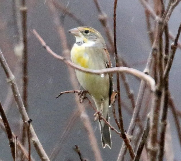 A pleasant surprise was this Dickcissel on 18 Feb in a Crawford Co. backyard in southern Indiana. Photo © Stuart Tower.