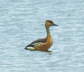 This Fulvous Whistling Duck, exceptional in the region, was 1 of the 4 at Hackberry Flat W.M.A., Tillman County, Oklahoma 15—31 May 2017 (here 18 May). Photo by © Lou & Mary Truex.